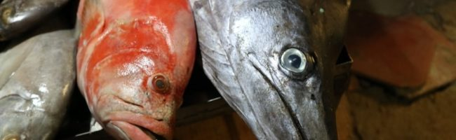 fish, рыба, marlin, red snapper